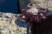 Moorish red legged crab (Grapsus adscensionis), a common crustacean of Gran Canaria, Canary Islands, Spain close up poster