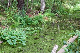 little swamp in the forest
