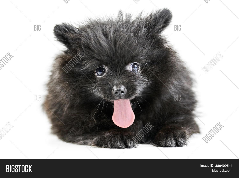 Pomeranian Puppy Spitz Image Photo Free Trial Bigstock