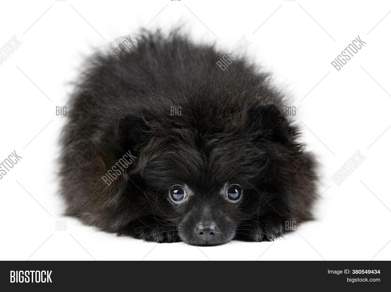Black Pomeranian Puppy Image Photo Free Trial Bigstock
