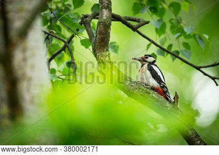 Dendrocopos Major. Wild Nature Of The Czech Republic. Evening Photography. Free Nature. Beautiful Pi
