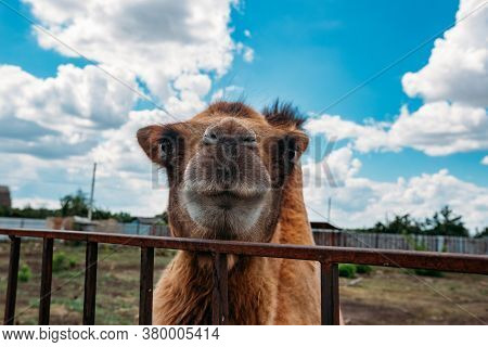 Muzzle Of Bactrian Camel, Close Up View