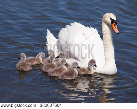 Swan With Chicks On The Water, Cygnus Olor