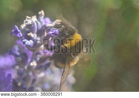 Bumblebee Honey Bee Collecting Pollen On Lavender.  Macro Micro.
