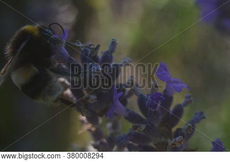 Bumblebee Honey Bee On Lavender. Macro Micro.