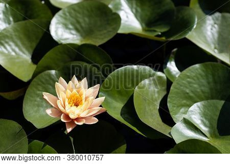 Beautiful Pink Water Lily Blossom With Yellow Center Surrounded By Brilliant Green Lily Pads.