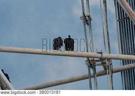 A Pair Of Black Vultures Perched On The Metal Pipe Of A Cell Phone Tower As They Watch The Ground Be