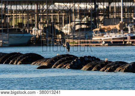 A Great Blue Herons Preening Its Feathers While Standing On A Barricade Of Tires In The Water With A