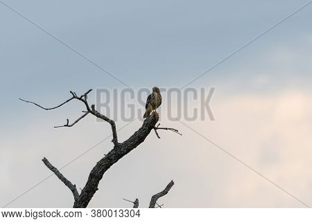 Red-tailed Hawk Looking Out Over The Fields Below From Its Perch At The Top Of A Dead Tree In The Wa