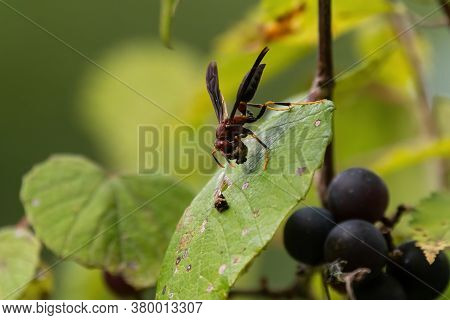 Ringed Paper Wasp Resting On The Leaf Of A Grapevine While Holding A Chunk Of Food In Its Front Legs