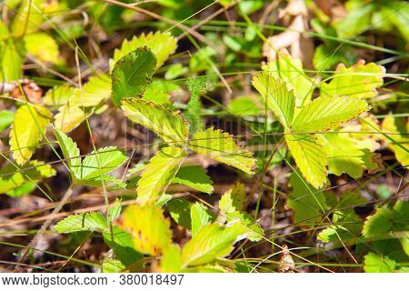 Green Strawberry Leaves . Uncultivated Plants In The Forest