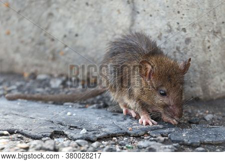 A Small Rat Against A Gray Concrete Wall