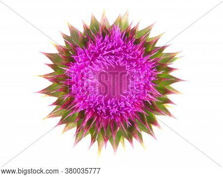 Single Purple Milk Thistle Flower Isolated On White