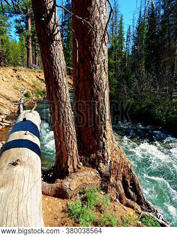 Standing Tall At The Creek - A Ponderosa Scene On The Banks Of Whychus Creek - Southwest Of Sisters,