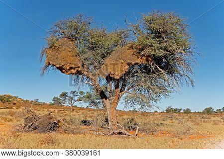 African thorn tree with large communal nest of sociable weavers (Philetairus socius), Kalahari desert, South Africa