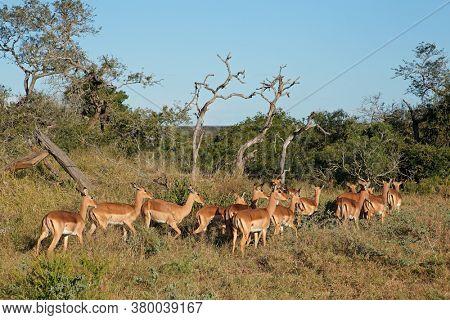 A herd of impala antelopes (Aepyceros melampus), Mkuze game reserve, South Africa
