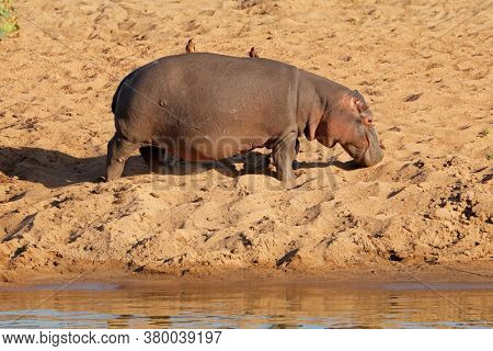 A hippo (Hippopotamus amphibius) walking on land, Kruger National Park, South Africa