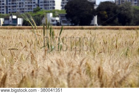 Young Wheat Stalks Sticking Out In A Wheat Field
