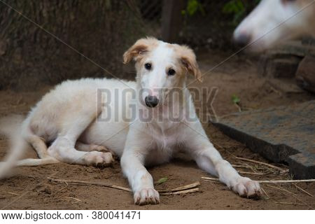The Puppy Lies On The Ground And Looks Directly At The Camera. A Puppy Of A Hunting Dog Breed. Russi