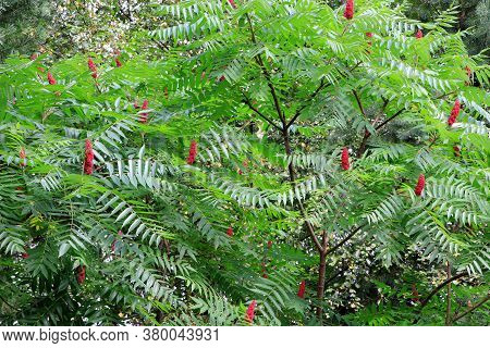 Green Leaves And Red Flowers Of Ailanthus. Blooming Ailanthus Altissima.fraxinus Chinensis. Red Flow