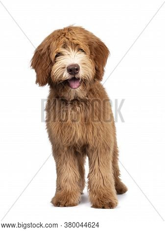 Fluffy Caramel Australian Cobberdog, Standing Facing Front. Eyes Not Showing Due Long Hair. Isolated