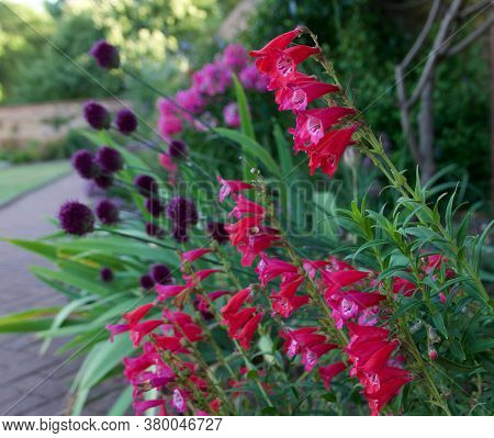 Beautiful Pink And Purple Flowers In Flowerbed Spilling Onto Path