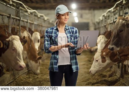 Female worker on a cow dairy farm in a cowshed working on a laptop computer