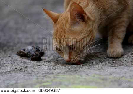 A Cute Ginger Red Head Cat Killed A Small Sparrow. Dead Sparrow And Orange Kitty Close Up Taken. Pet