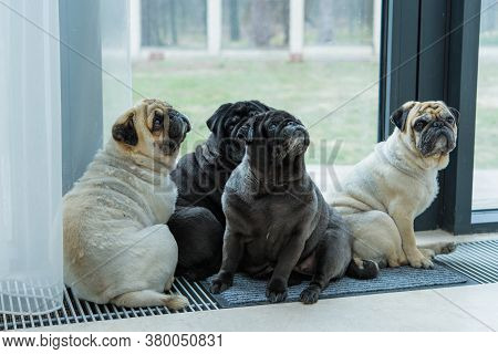 Funny Face Of Pug Dog. Pet Pugs Dog Playing At Home. Life Of Pets, Concept Of Best Friend Ever