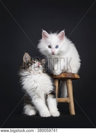 Cute Black Tabby Blotched With White And Solid White Odd Eyed Norwegian Forestcat Kittens, Playing O