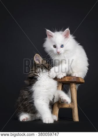 Cute Black Tabby Blotched With White And Solid White Odd Eyed Norwegian Forestcat Kittens, On Hittin