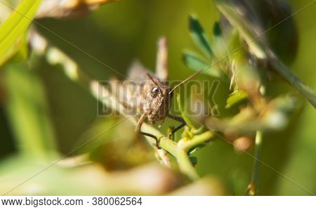 Macro Shot Of Grasshopper On The Leaf.