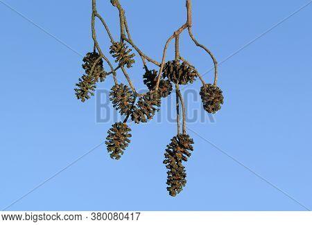 Common Alder Black European Tree Deciduous Forestry