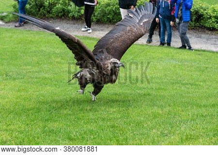 This Tamed Vulture Takes Off From The Lawn.