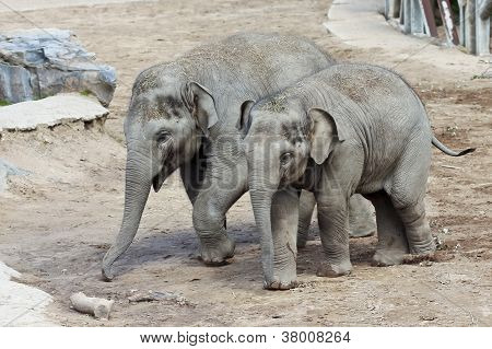 A Pair Of Baby Asian Zoo Elephants