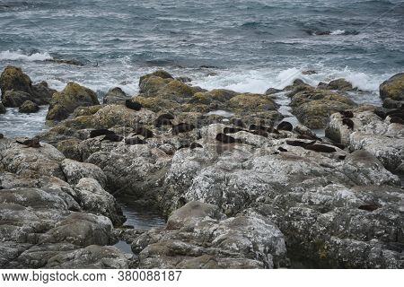 A Full Frame Image Of A Colony Of Wild Australian Fur Seals Basking On The Coastal Boulders Of Kaiko