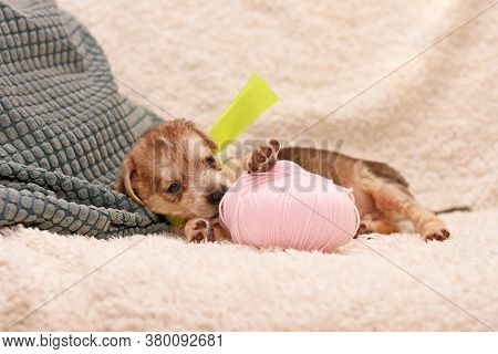 Cute Little Puppy Playing With A Tangle Of Pink Threads. Puppy On The Bed