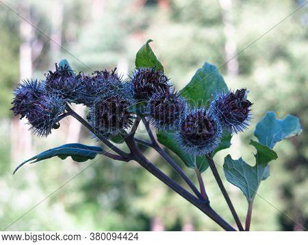 Burdock Blooms With Prickly Purple Flowers In Summer