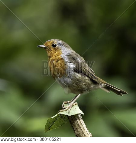 A Eurasian Robin Redbreast Bird (erithacus Rubecula) Perched On A Branch In Local Woodlands