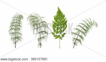 Green Fern Branch And Horsetail Branch Isolated On White Background