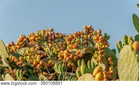 Image Of A Prickly Pear Tree With Prickly Pears. Island Of Mallorca, Balearic Islands, Spain