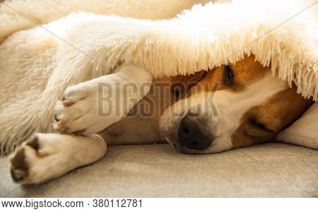 Beagle Dog Tired Sleeps On A Cozy Sofa, Couch, Under Fluffy Blanket. Dog At Home Concept.