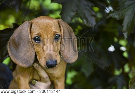 The Dachshund Puppy Is Held In His Arms While Walking. The Puppy Is Red In Color, The Background Is