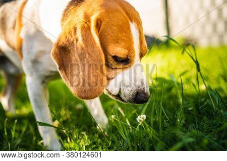 Tricolor Beagle Dog Eats Grass, Sunny Summer Day. Dogs Health Concept