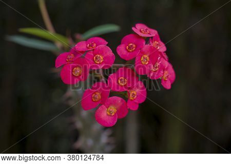Red Coroa-de-cristo (euphorbia Milii), In Nature In Brazil Against Black Background