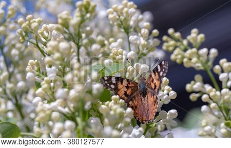 Butterfly On The White Lilac Flowers. Spring Background Image
