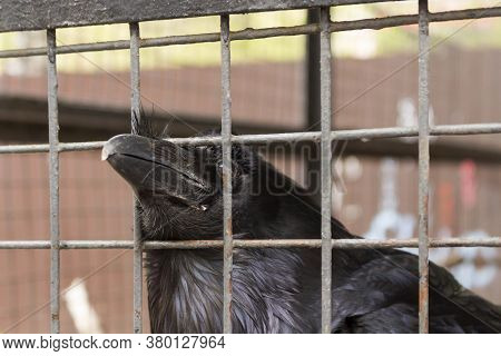 The Raven Thrusts Its Beak Through The Bars Of The Cage