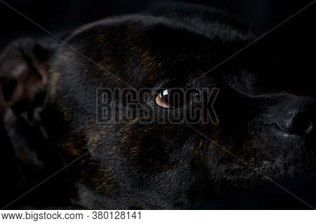 Staffordshire Bull Terrier Dog On A Black Background. Close Up.