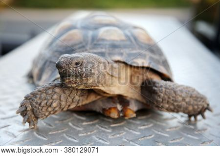 Tortoise.  A pet Land Turtle enjoys a Banana for dinner. Turtles and Tortoises are gentle animals.
