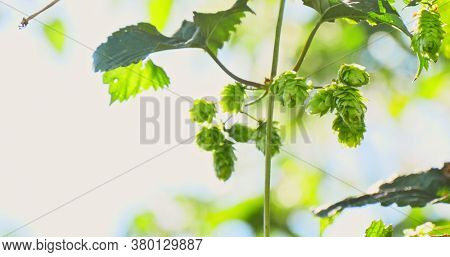 Close view of fresh green hop cones on branch in sunny summer day.